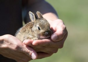 Rabbits in care, SPPOT, Haverfordwest